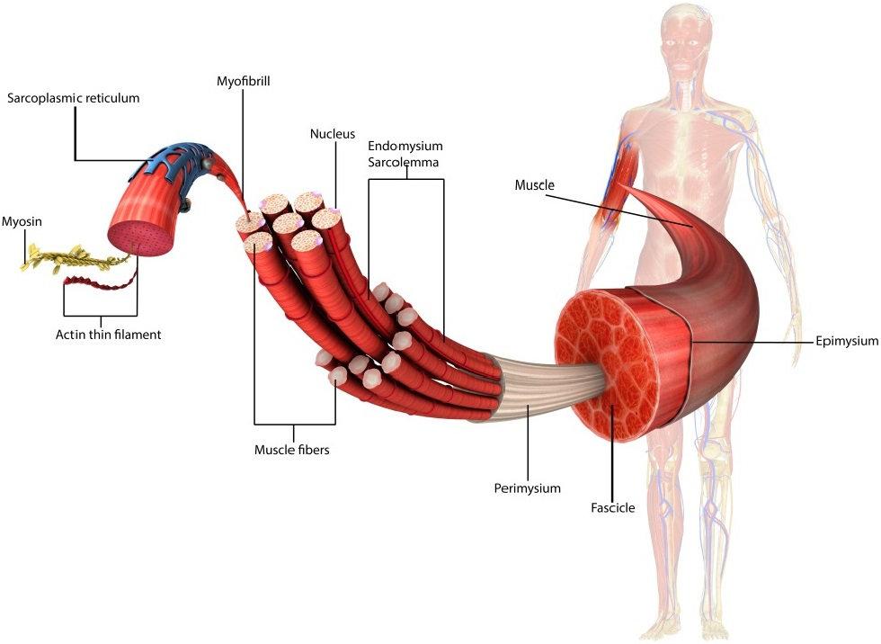 Contracción muscular electroestimulación EMS